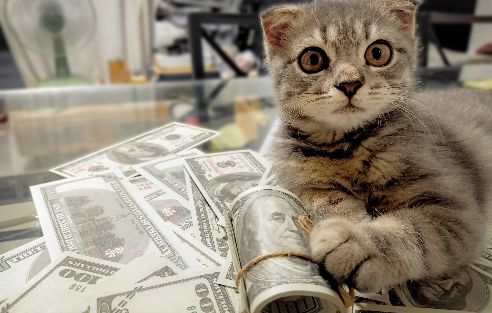 Cat holds rolls of hundred dollar bills away from person.